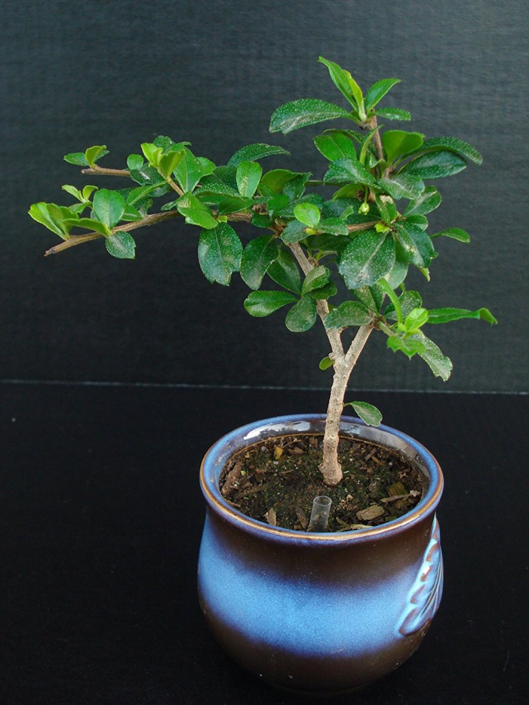 Best Indoor Bonsai Tree For Beginners