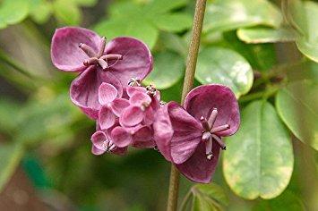Chocolate Vine Plant