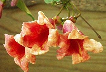Coral Vine Plant