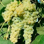 Grape Vine Plant
