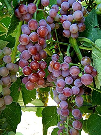Grape Vine Plants
