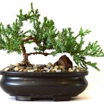 Best Indoor Bonsai