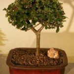 Chinese Elm Bonsai Indoor