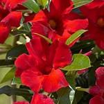 Crimson Vine Plant
