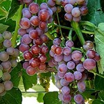 Grape Vine Plants